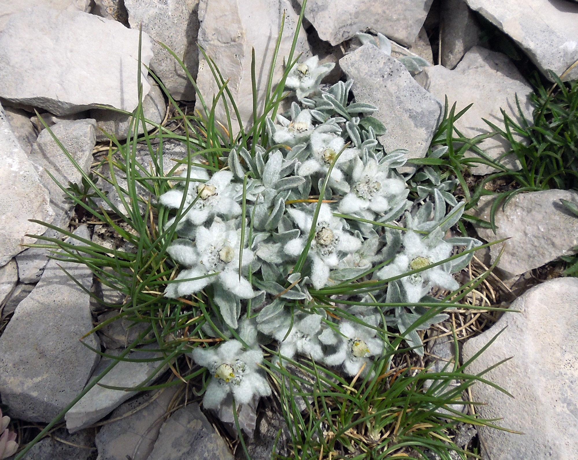 stelle alpine dei monti sibillini